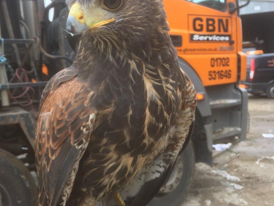 Meet Hannah the Hawk – GBN's expert bird scarer